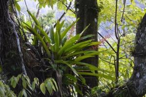 Aechmea fendleri- Montane forest CAM bromeliad